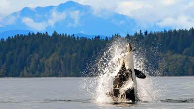 Orca at Vancouver Island
