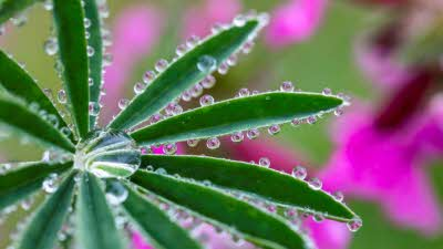 Close up photo of water droplets on leaves with pink flowers in background