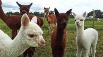 Abbotts View Alpacas, HP22 4NF