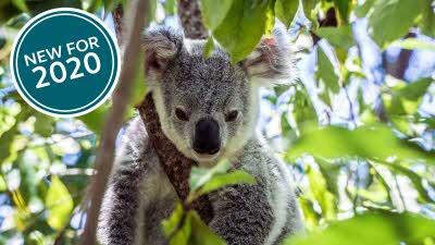 Koala in a tree in Australia
