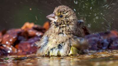 Greenfinch bathes in bird bath shaking its feathers